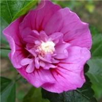 出售木槿小苗批发3-8厘米红花紫薇树苗