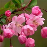 基地直销垂丝海棠价格美丽树也漂亮厂
