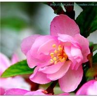 基地直销垂丝海棠价格美丽树也漂亮