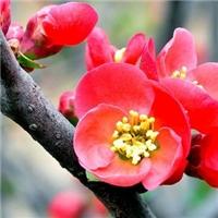 哪种海棠花颜色红要数贴梗海棠颜色漂亮厂