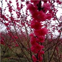 红叶碧桃3厘米的啥价格厂