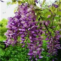 5厘米的紫藤蜿蜒盘旋像条花龙腾飞