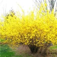 花期的连翘苗金黄遍地富贵的连翘也是中药