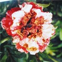 花石榴品种牡丹石榴花大花期3个月