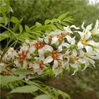 文冠果既能绿化又能出油的经济林树种厂