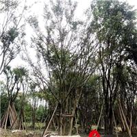 四川成都四川优质精品朴树 庭院绿植 绿化