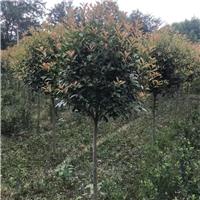 四川成都四川优质精品红叶石楠  庭院绿植