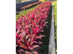 基地多规格供应庭院道路绿化植物亮叶朱焦