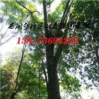 15公分栾树|16公分-18公分栾树价格