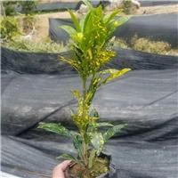 常年大量批发供应优质常绿地被海南洒金