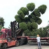 苗木种植基地供应大型景观树造型小叶榕
