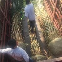 大量供应精品大型景观绿化树中东海枣