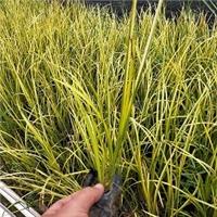 大量供应优质常绿水生植物金叶石菖蒲