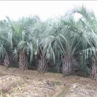 多规格大量供应园林公园造景树布迪椰子厂