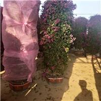 基地供应规格齐全造型盆栽三角梅柱型