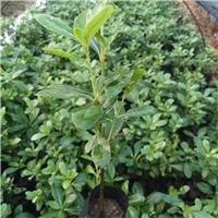 沐阳苗木基地大量特价供应优质绿植海桐厂