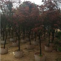 苗木种植基地供应市政行道风景树红枫