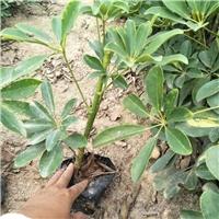 苗木供应基地大量供应盆栽观叶绿植鸭脚木