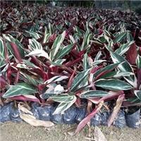 大量批发供应盆栽彩色绿植七彩竹芋