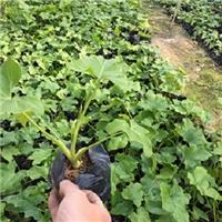 盆栽地栽常绿植物春羽哪里有大量供应