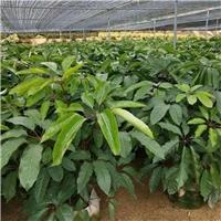 室内外净化空气盆栽植物大叶伞特价供应