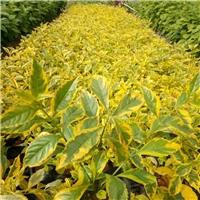 园林庭院造景常绿地被金边假连翘大量供应
