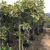 园林行道景观绿化树丛生富贵榕特价供应厂