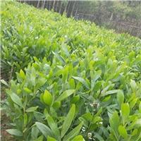 常年大量供应常绿灌木植物大叶相思厂