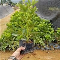 可盆栽地栽常绿地被鹅掌柴大量供应