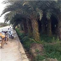 常绿热带风景绿化树中东海枣特价供应