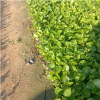 护坡地被彩叶扶桑种植基地直销供应
