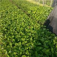 护坡地被彩叶扶桑种植基地直销供应厂
