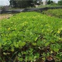 榕翔苗木场专业供应遍地黄金  量大从优厂