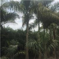 大王椰子基地直销 风景树大王椰子价格好