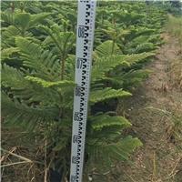 净化空气绿植南洋杉  产地直销供应