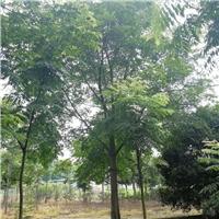 22公分单杆朴树价格