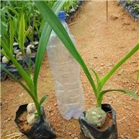 文殊兰供应     种植基地大量供应文殊兰