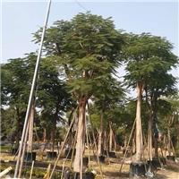 行道景观风景树凤凰木  凤凰木高可达20米