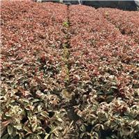 红叶特色盆栽植物红背桂漳州基地有售