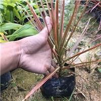 特色可盆栽地栽净化空气绿植七彩马尾铁