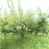 地径18公分山杏多少钱一棵 山杏大量批发