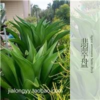水晶宫 翡翠盘龙舌兰常绿大型草本植物