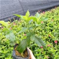 直销供应株高60-100公分绿植大花芦莉