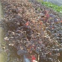 四季常绿园林地被护坡地被植物红花��木