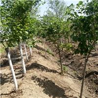 好景园林常年供应各种规格的丁香苗