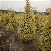 园林小区可盆栽地栽观赏树黄金垂榕厂