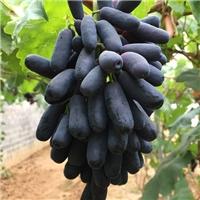 南北方早熟葡萄苗大棚葡萄苗什么品种好?