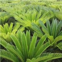 优质盆栽植物苏铁 苏铁多规格大量供应