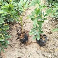 特色常绿小盆栽绿植鸭脚木 鸭脚木价格