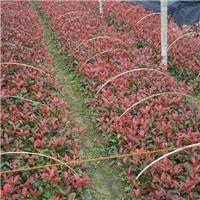 红叶石楠园林公园优质地被  红叶石楠厂
